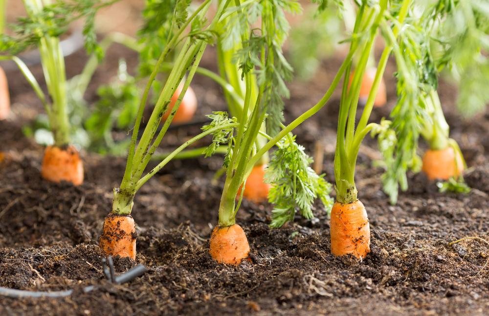 засети моркови